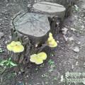 вешанка лимонная.jpg