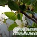 Брянская розовая 2016.jpg