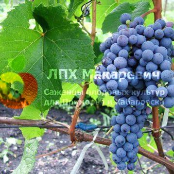 Виноград Адэль
