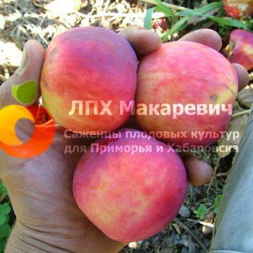 Яблоня Слава Приморская