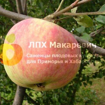 Яблоня Джонатановое