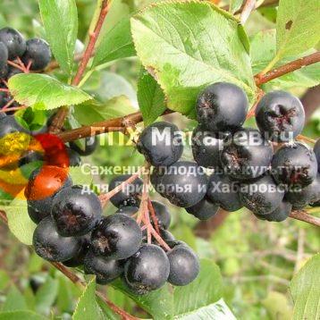 Черноплодная рябина-Арония