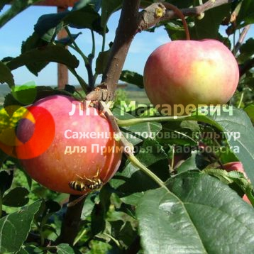 Яблоня Любительское