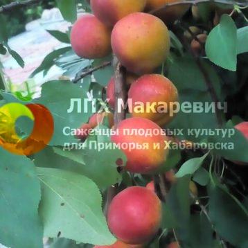 Абрикос Петр Комаров