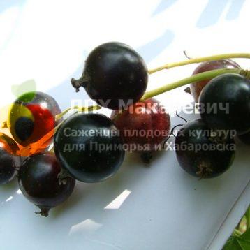 Смородина черная Былинная