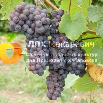Виноград Кемпбелл