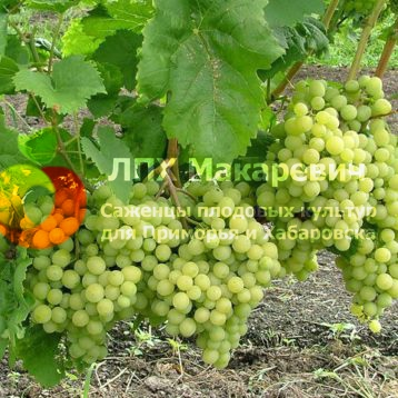 Виноград Эдна