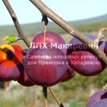 Яблоня Гислоп