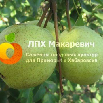 Груша Памяти Болоняева
