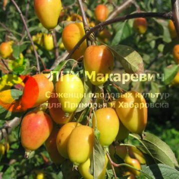 Яблоня Пепинчик Красноярский