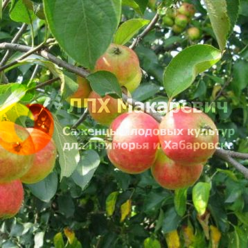 Яблоня Репанка