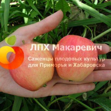 Яблоня Розмарин Красный