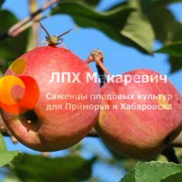 Яблоня Сибирское Сладкое