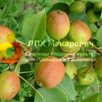 Груша Скороплодная