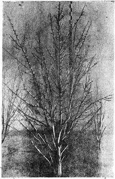 Дерево Поли в возрасте 11 лет
