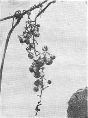 Гниль на плодах винограда