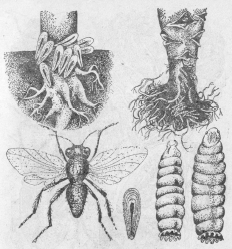 Капустные мухи