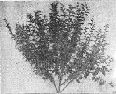 Куст китайской войлочной вишни