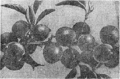 Маньчжурская красавица
