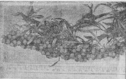 Плодоносящая ветвь облепихи