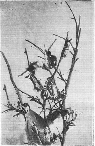 Повреждения сливы гусеницами параза