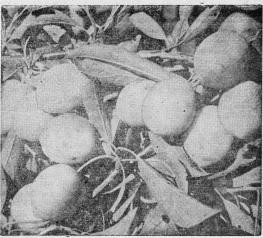 Урожайная дальневосточная