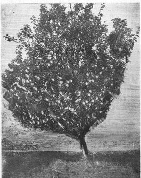 Яблоня «Анис серый»