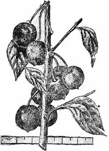 Японская или уссурийская вишня