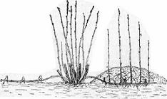 Размножение чёрной смородины горизонтальными отводками