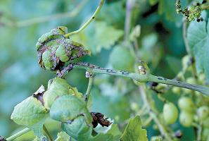 Поражение винограда антракнозом