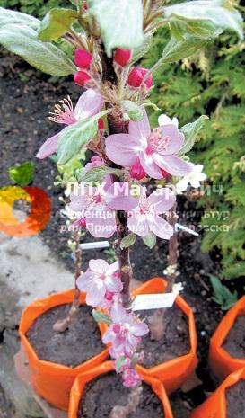 Яблони красиво цветут